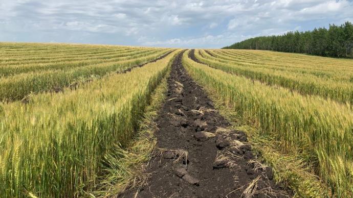 內蒙古陳巴爾虎旗:為退耕指標,鏟毀2萬多畝將熟麥子油菜