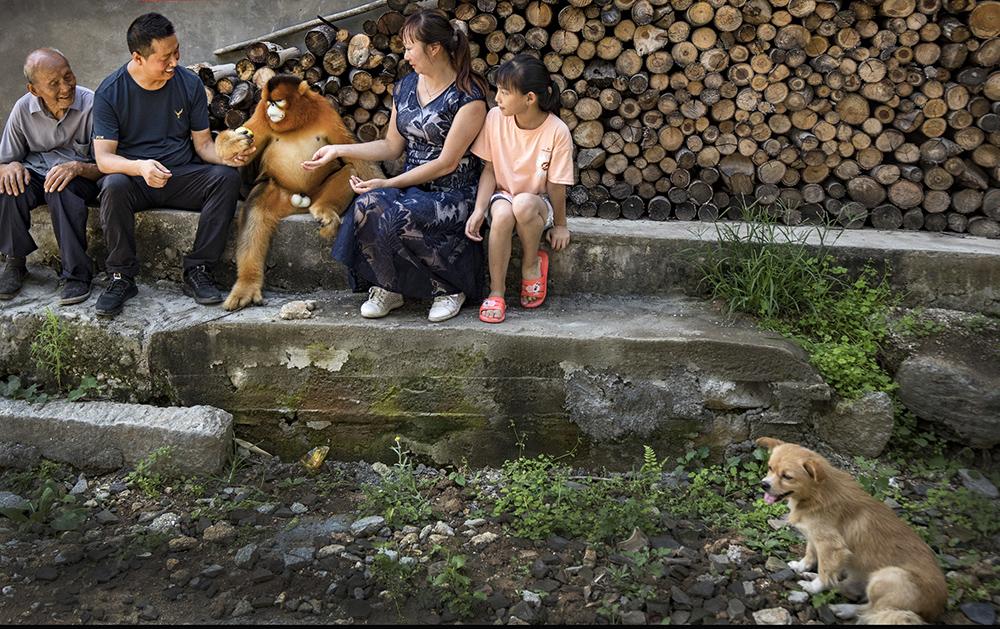 """近日,在陕西省汉中市洋县茅坪镇茅坪村,一只野生的国家一级保护动物金丝猴,来到村里""""串门""""。这只成年野生金丝猴,白天爬屋顶进村民家寻找食物,晚上则躲进山林间休息。地处秦岭南麓的洋县生态良好,大熊猫、金丝猴下山进村""""串门""""的事情时有发生,当地群众与野生动物相处融洽。陶明/新华社 图"""