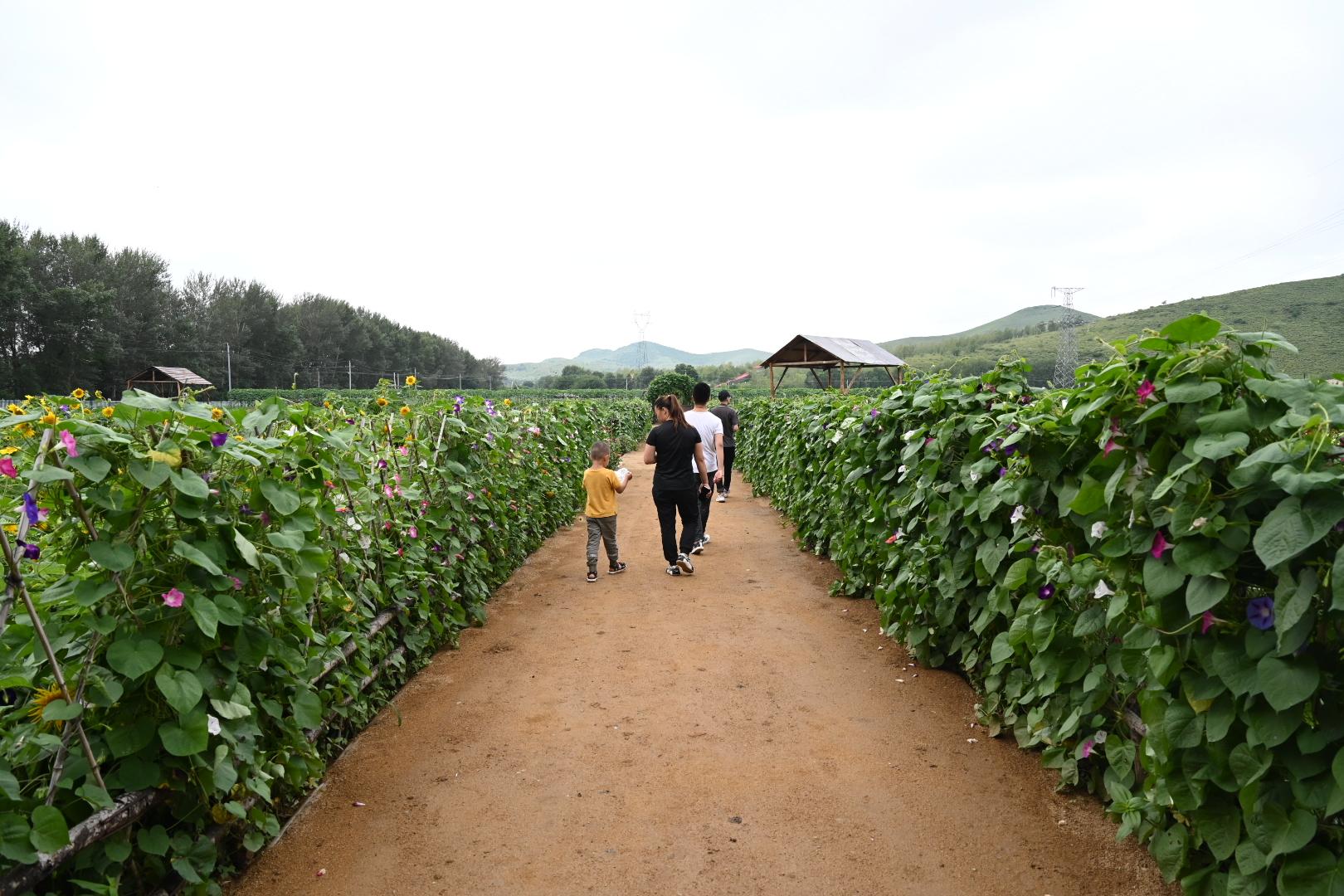 开心农场络绎不绝的游客 澎湃新闻记者 孙湛 图