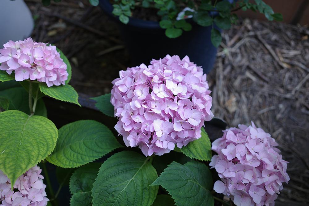 堆肥与种植给人的快乐,需要经历期待、等待、坚信不疑,才能迎来最后的喜悦。这是我的小院里地栽第二年的绣球花,在春季里、疫情中开花的样子。