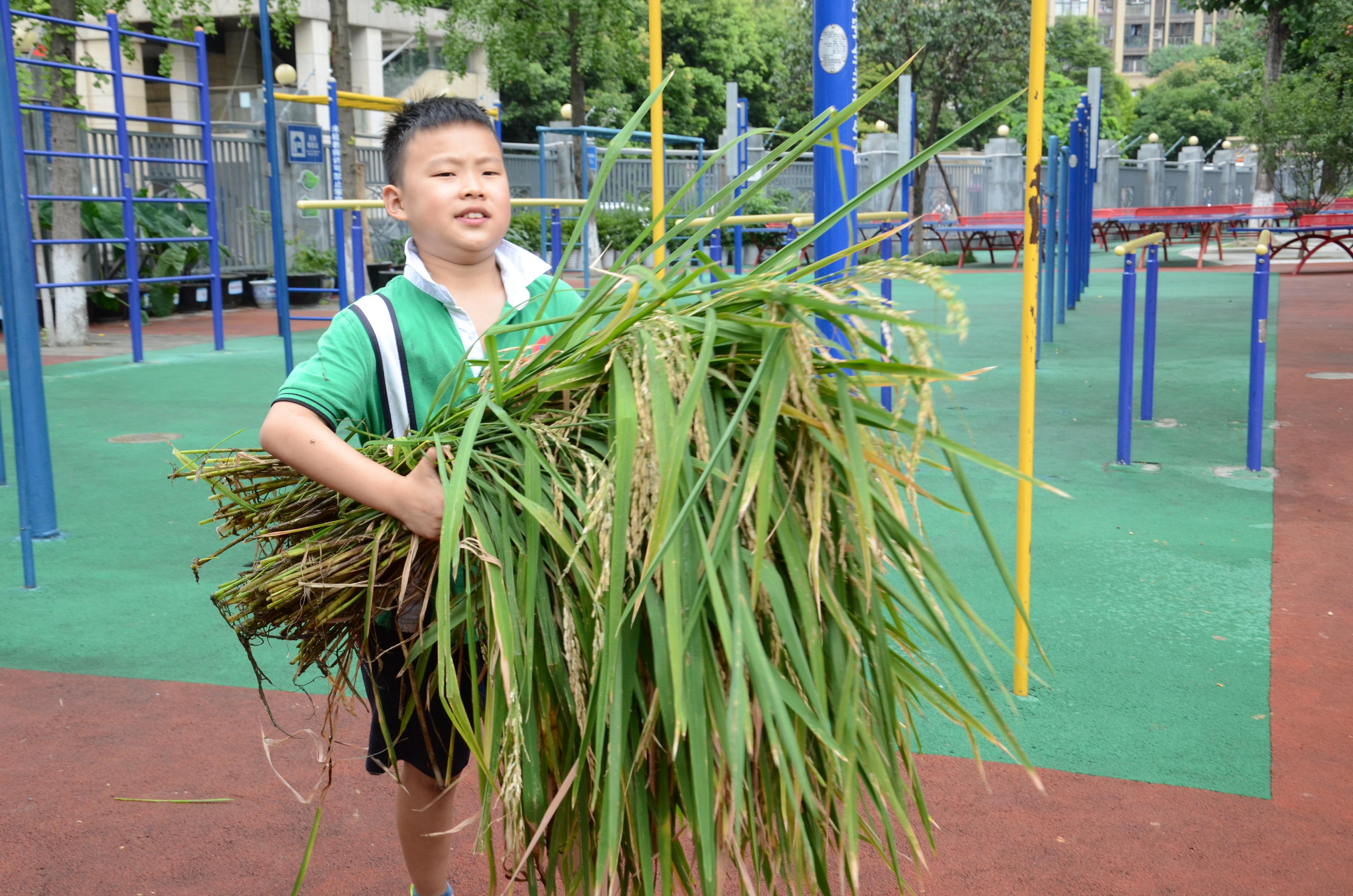 学生收获水稻