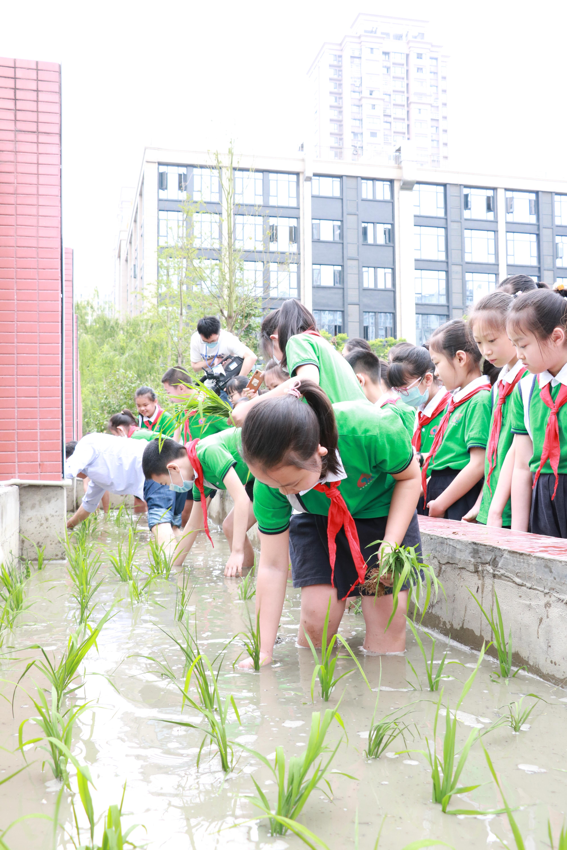 """今年5月,小学生们在围墙边开辟出来的""""水田""""里种植。"""