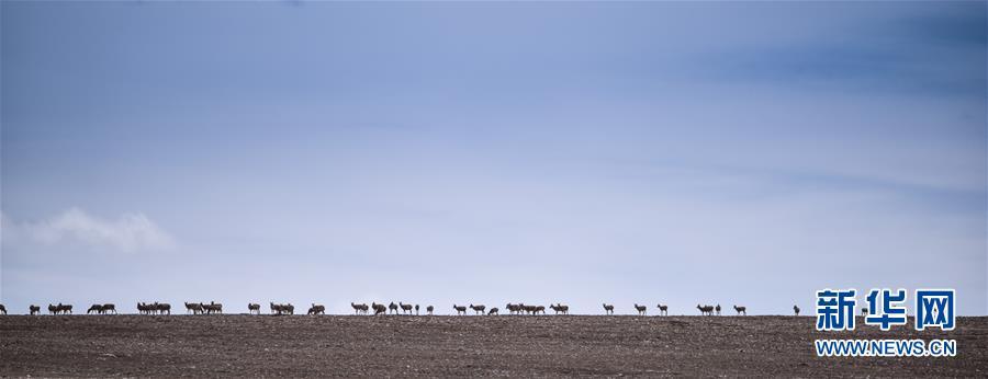 青海可可西里地区,一群雌性待产藏羚羊通过青藏公路后向卓乃湖行进(2016年6月7日摄)。新华网 图