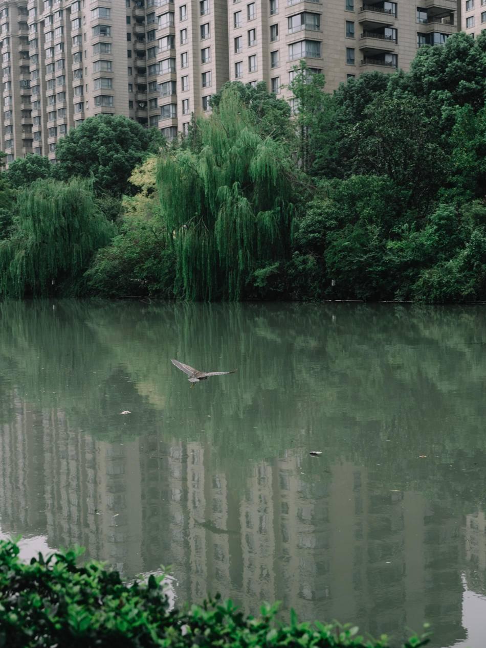 2020年9月16日,光复西路,苏州河岸边的楼盘,绿植和水鸟。澎湃新闻记者 周平浪 图