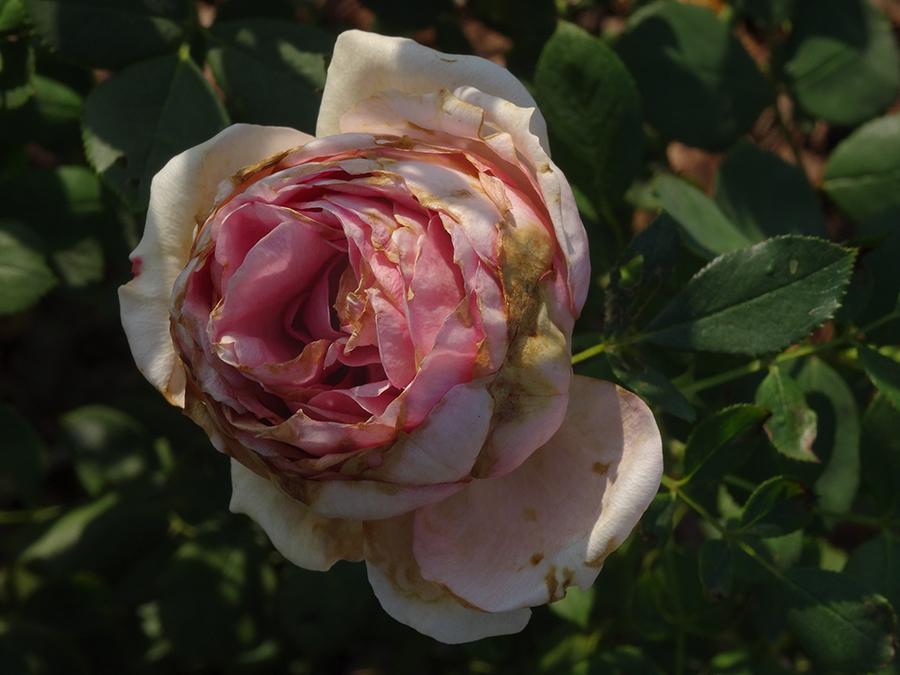 """月季""""夏季的最后一朵玫瑰""""。在《白雪公主的简历》中,陈丹燕特别写出了那些月季残败的美感。陈丹燕图"""