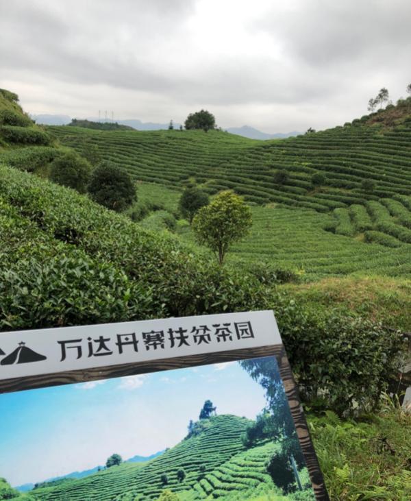 万达丹寨扶贫茶园