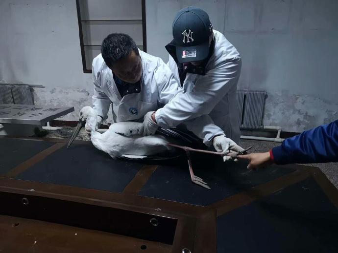 救助人员在对受伤的白鹳进行检查。