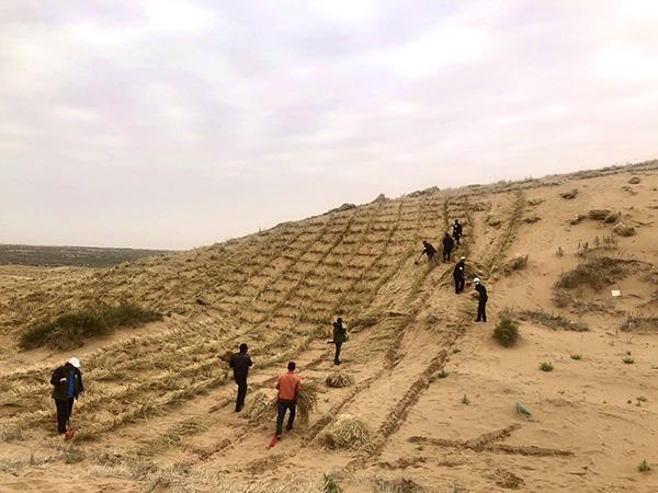 八步沙林场六家人在沙漠中埋草压沙