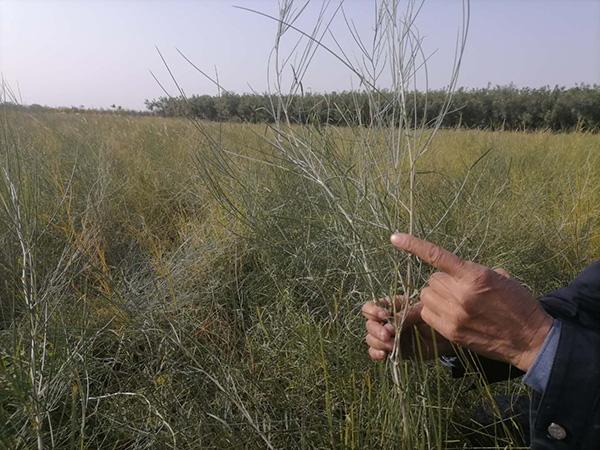 八步沙林场培育的苗圃
