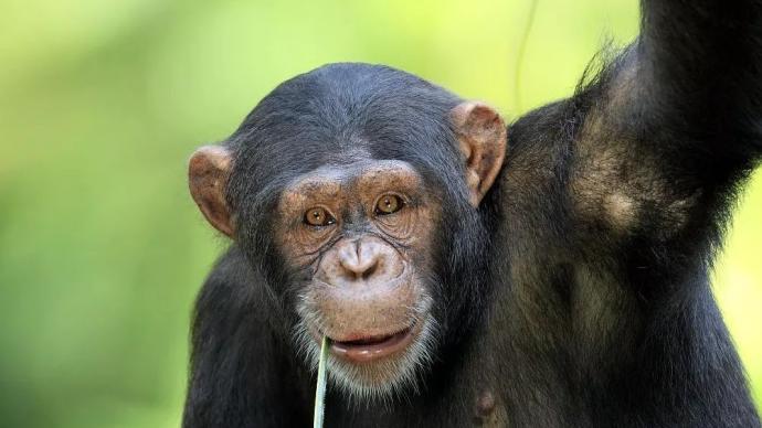 《科學》:像人類一樣,雄性黑猩猩隨著年齡增長也會變得成熟