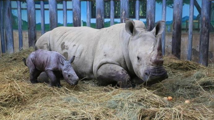 中國北方首例:瀕危物種南非雙角白犀牛在濟南繁育成功