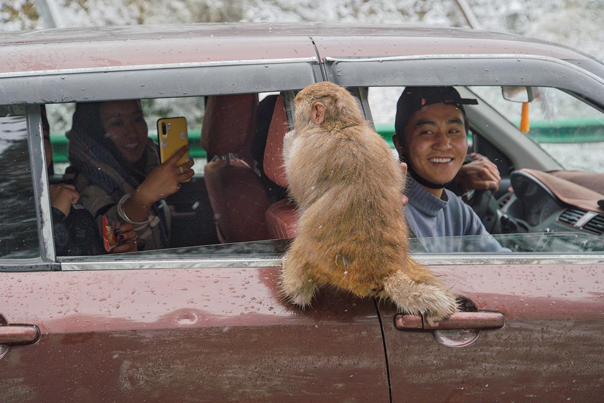 10月20日, 四川西部高原持续降雪,猴群在四川省甘孜州炉霍县上罗科马镇境内的317国道边向过往车辆讨要食物。金澍杰/人民视觉 图