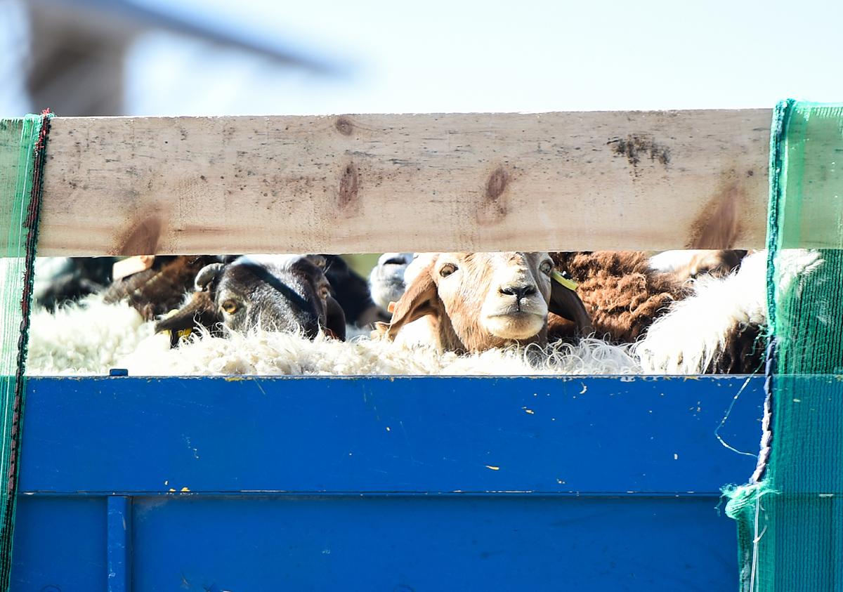 10月22日,内蒙古二连浩特口岸货,蒙古国捐赠的羊。11时30分许,从蒙古国扎门乌德口岸出发的一辆辆货车搭载首批4000只羊,依次驶入中国内蒙古自治区二连浩特口岸。根据中蒙双方商定的计划,3万只羊将分批于11月中旬前运抵中国境内,在二连浩特加工后运往湖北省。新华社 图