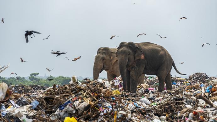 早安·世界|斯里兰卡:心碎!成群大象露天垃圾场内觅食
