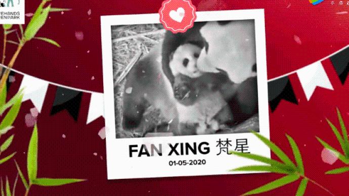"""荷兰动物园:疫情中诞生的熊猫宝宝""""樊星""""为""""男孩子"""""""