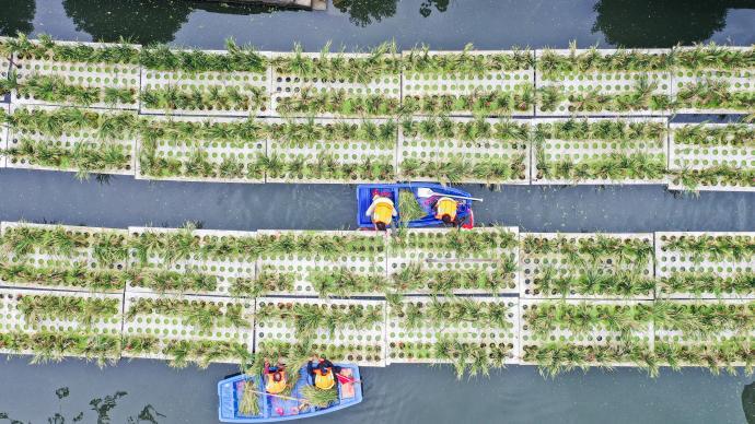 """湖州城市内河""""水上稻""""首次收割,产稻同时净化水体"""
