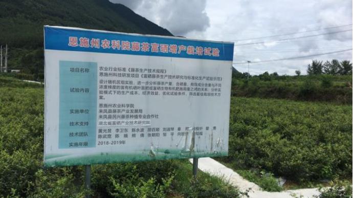 产业扶贫|湖北老寨村藤茶连片种植的探索与实践