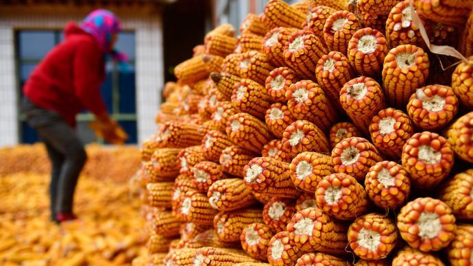 中國十余年研究:玉米生物量增加對產量貢獻率為73.71%