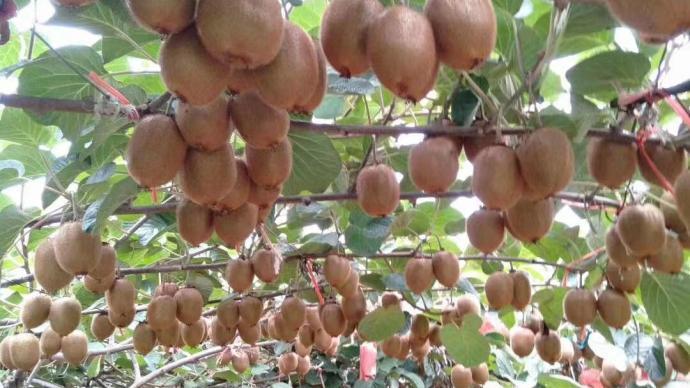 電商如何改變農村社會:以田村獼猴桃產業為例